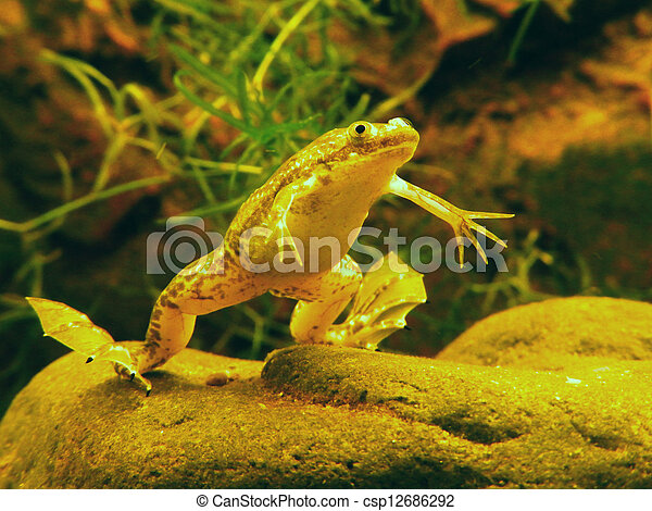 underwater photo of an african clawed frog xenopus laevis rh canstockphoto com African Dwarf Frog Tadpoles Baby African Clawed Frog