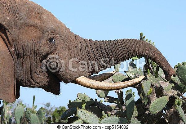 African Elephant Eating Cactus - csp5154002