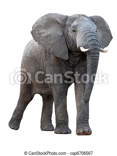 African Elephant - Isolated - csp6706567