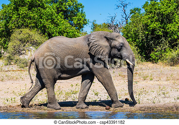 African elephant loner on a watering place - csp43391182