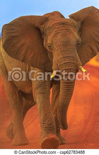 African Elephant on red desert - csp62783488