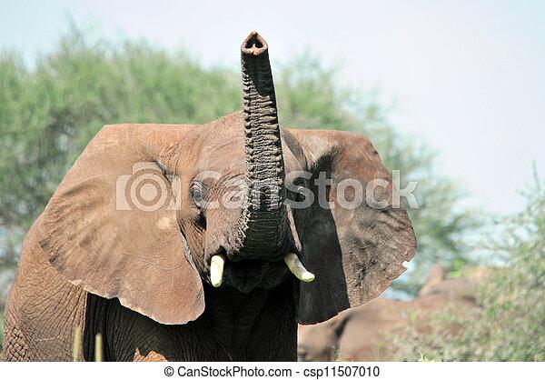 African elephant - csp11507010