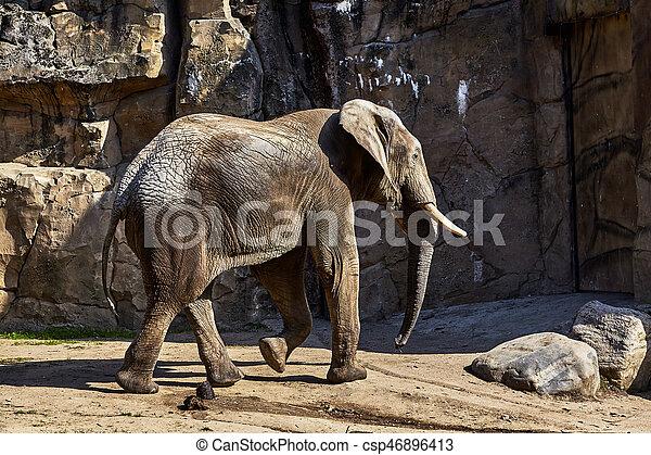 african elephant - csp46896413