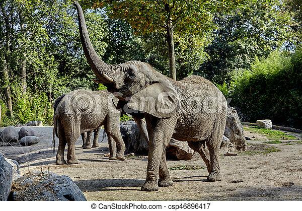 african elephant - csp46896417