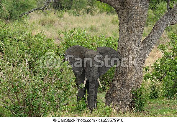 African Elephant - csp53579910