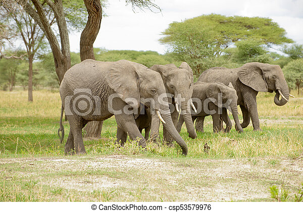 African Elephant - csp53579976