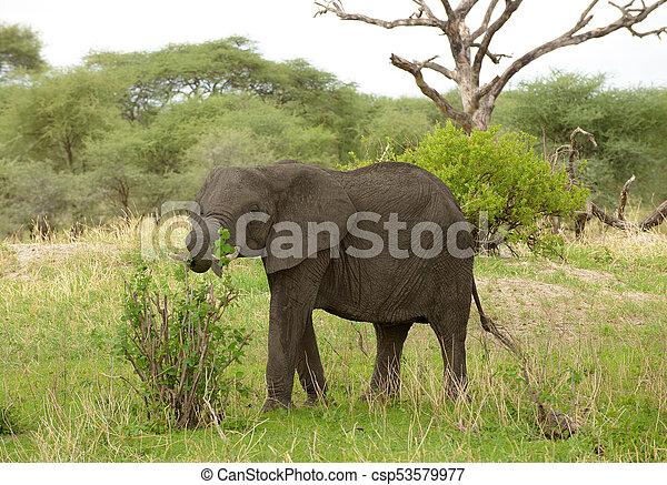 African Elephant - csp53579977
