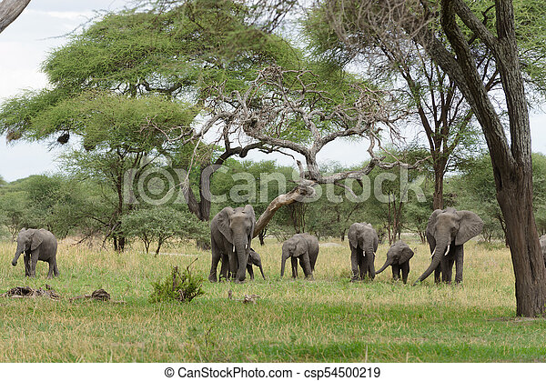 African Elephant - csp54500219