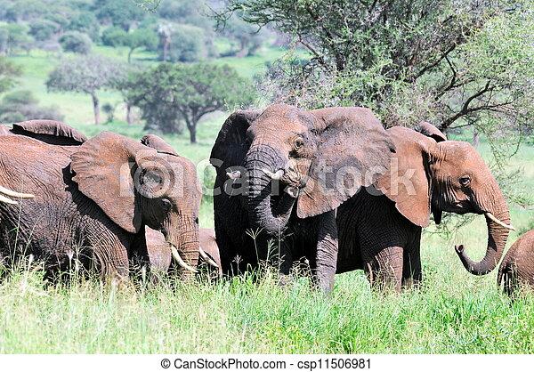 African elephant - csp11506981