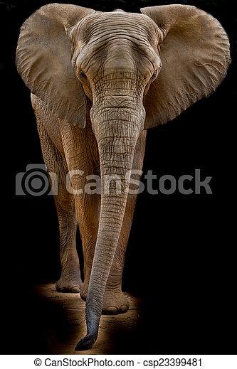 African elephant - csp23399481
