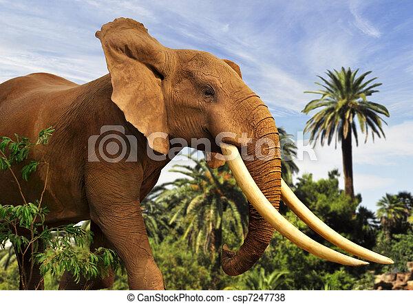 african elephant - csp7247738