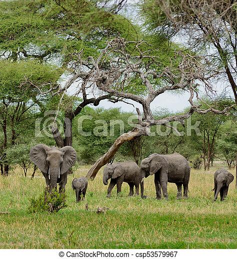 African Elephant - csp53579967