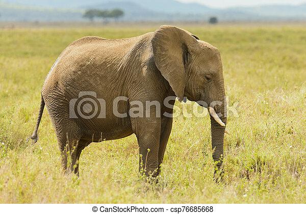 African Elephant - csp76685668