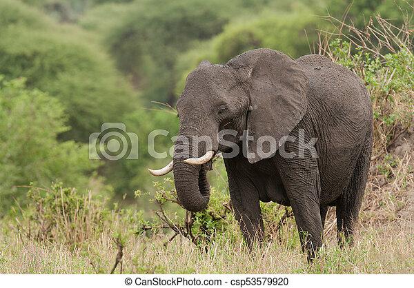 African Elephant - csp53579920