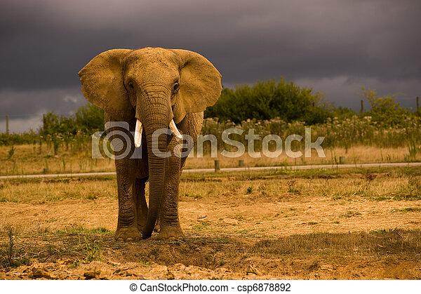 African Elephant - csp6878892