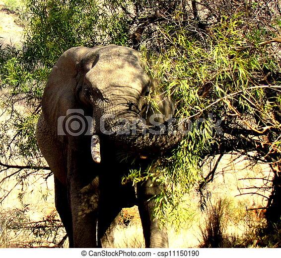 African Elephant - csp11150190