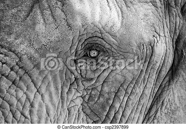 african elephant - csp2397899