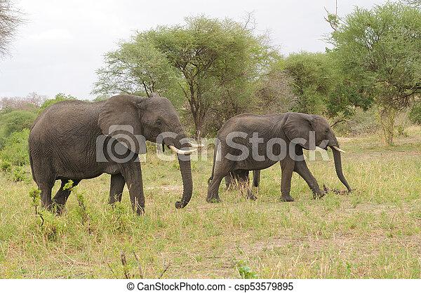 African Elephant - csp53579895