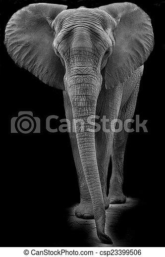 African elephant - csp23399506