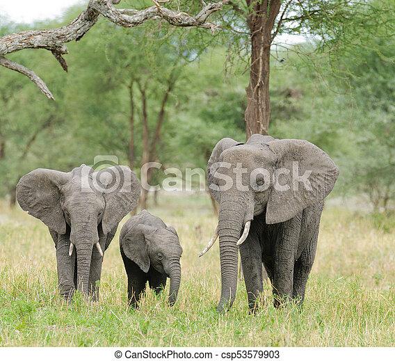 African Elephant - csp53579903