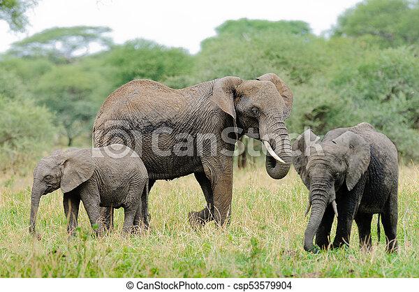 African Elephant - csp53579904