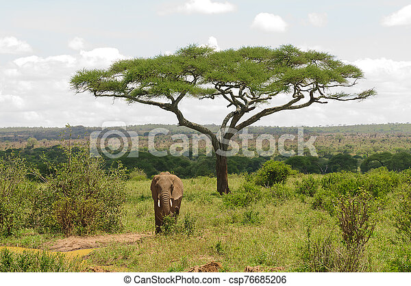 African Elephant - csp76685206