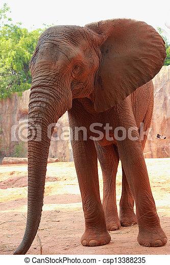 African elephant - csp13388235