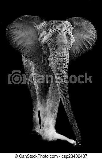 African elephant - csp23402437