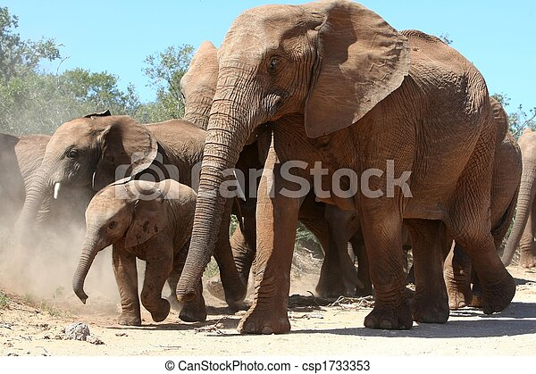 African Elephants - csp1733353