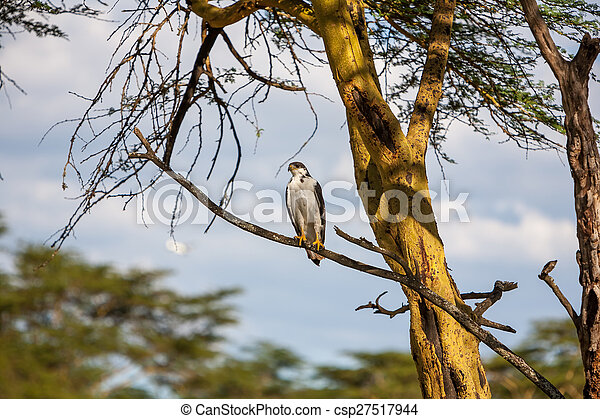African Fish Eagle on a tree, Kenya - csp27517944