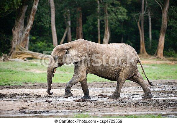 African Forest Elephant ( Loxodonta cyclotis). - csp4723559
