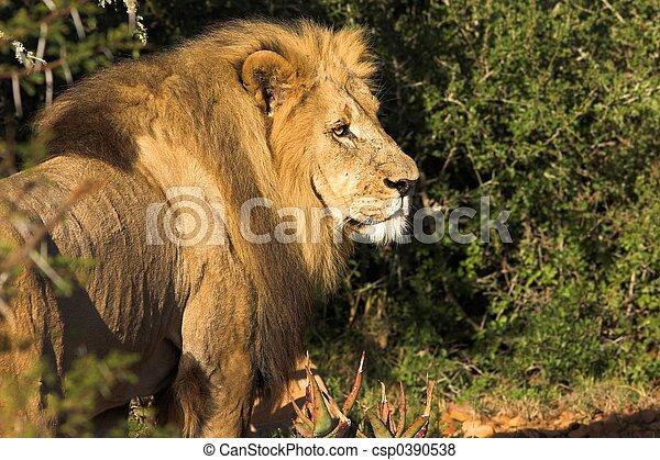African Lion - csp0390538