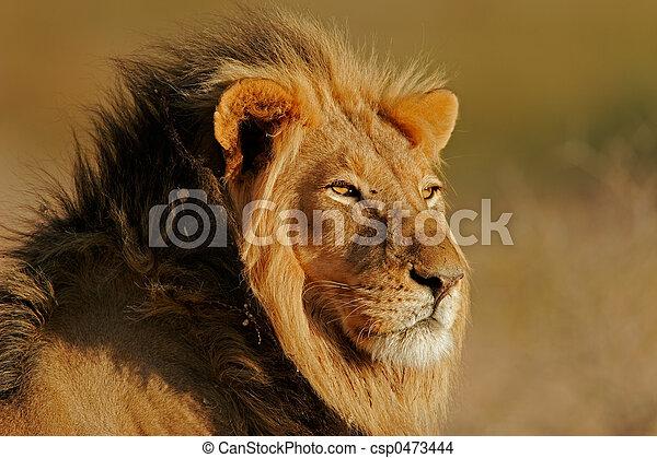 African lion - csp0473444