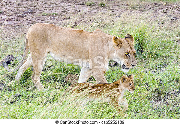 African lioness with cub - csp5252189