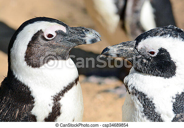 African Penguin in the Zoological Center - csp34689854