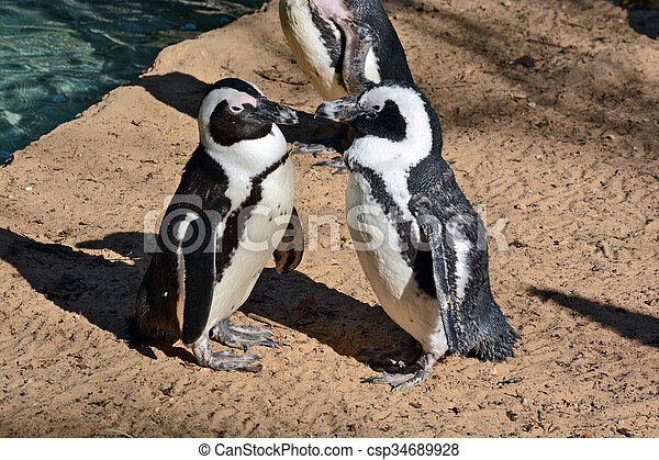 African Penguin in the Zoological Center - csp34689928