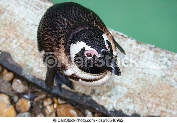 African penguin - csp18548962