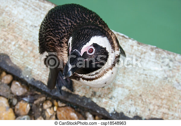 African penguin - csp18548963