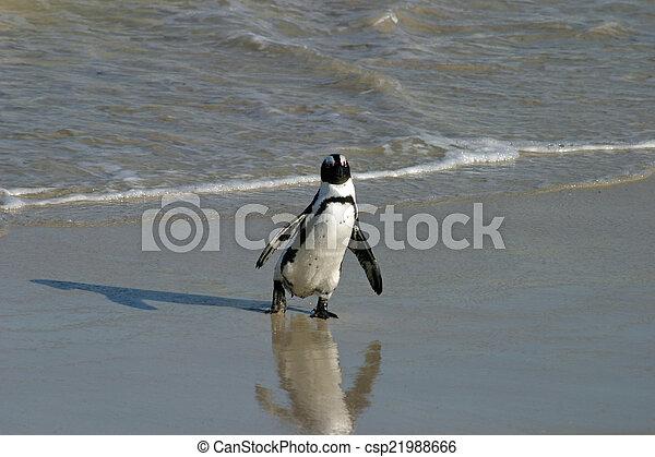 African penguin - csp21988666