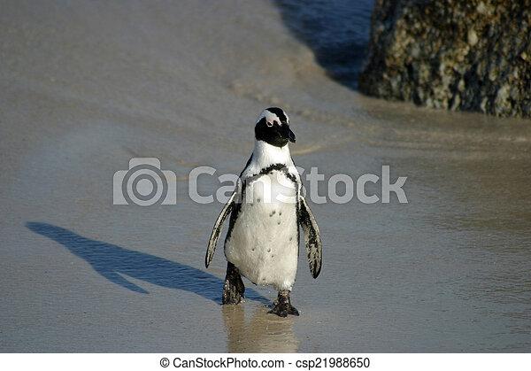 African penguin - csp21988650