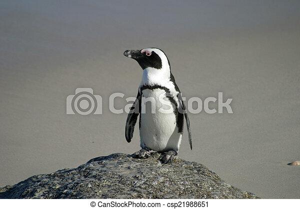 African penguin - csp21988651