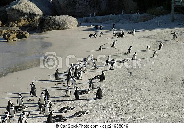 African penguin - csp21988649