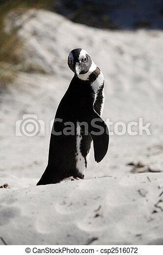 African Penguin - csp2516072