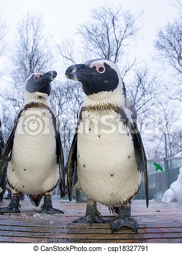African penguin - csp18327791
