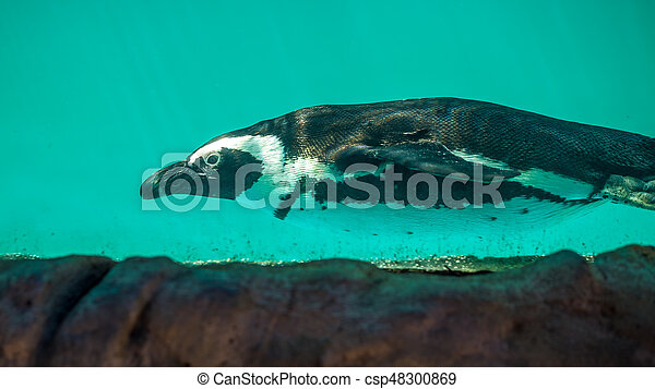 African penguin swims in the water in the Tbilisi zoo, the world of animals - csp48300869