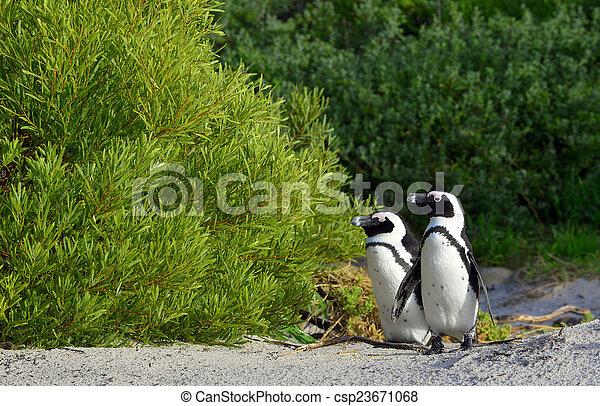 African penguins - csp23671068