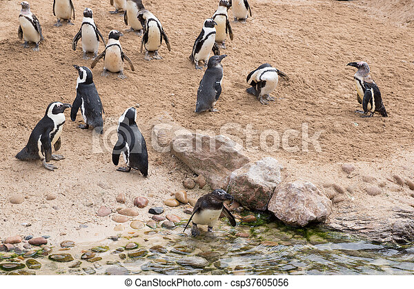 African penguins - csp37605056