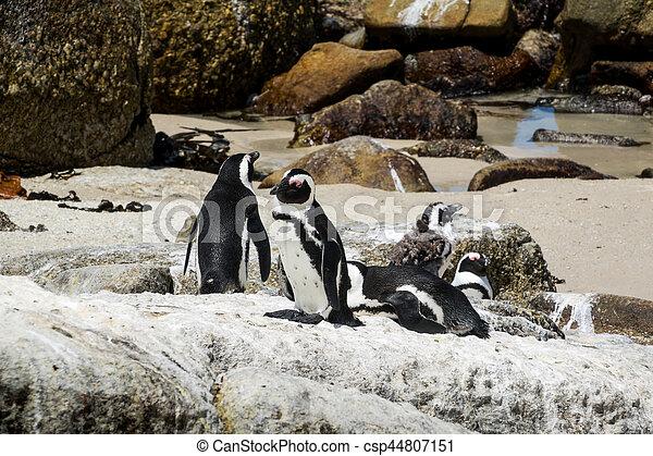 African penguins - csp44807151