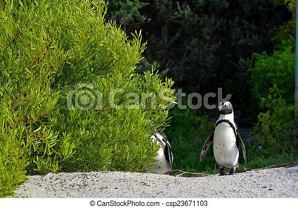 African penguins - csp23671103