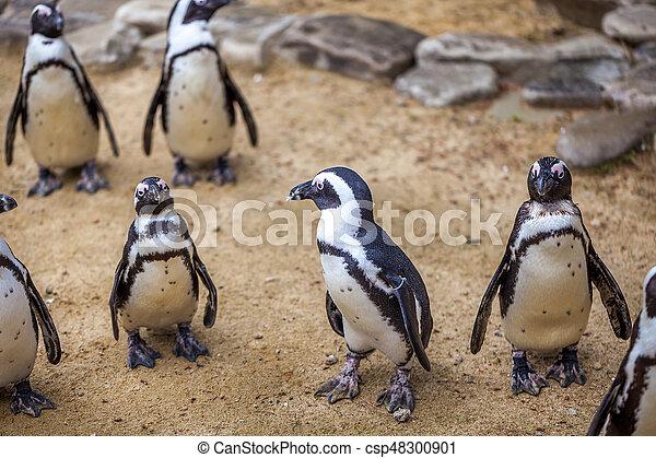 African penguins - csp48300901